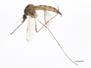 (Aedes trivittatus - BIOUG01574-C07)  @14 [ ] CreativeCommons - Attribution Non-Commercial Share-Alike (2012) CBG Photography Group Centre for Biodiversity Genomics