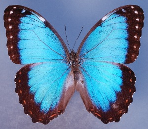 (Morpho achilles guerrerensis - AIV147)  @14 [ ] by-nc-sa - Creative Commons - Attribution Non-Comm Share-Alike (2011) Patricia Escalante Pliego Universidad Nacional Autonoma de Mexico, Instituto de Biologia