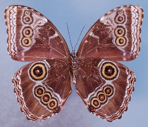 (Morpho achilles montezuma - AIV149)  @14 [ ] by-nc-sa - Creative Commons - Attribution Non-Comm Share-Alike (2011) Patricia Escalante Pliego Universidad Nacional Autonoma de Mexico, Instituto de Biologia