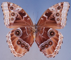 (Morpho achilles hyacinthus - AIV157)  @11 [ ] by-nc-sa - Creative Commons - Attribution Non-Comm Share-Alike (2011) Patricia Escalante Pliego Universidad Nacional Autonoma de Mexico, Instituto de Biologia