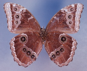 (Morpho achilles ssp - AIV266)  @13 [ ] CreativeCommons - Attribution Non-Commercial Share-Alike (2011) Patricia Escalante Pliego Universidad Nacional Autonoma de Mexico, Instituto de Biologia