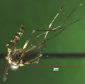 (Aedes hendersoni - NEONTculicid806)  @13 [ ] Copyright (2010) Blevins, KK and Travers, PD National Ecological Observatory Network (NEON) http://www.neoninc.org/content/copyright