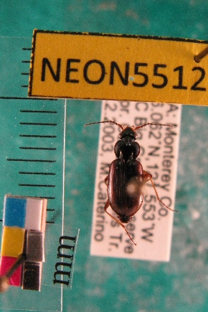 (Loricerinae - NEONTcarabid5512)  @14 [ ] Copyright (2012) Barton, M National Ecological Observatory Network (NEON) http://www.neoninc.org/content/copyright
