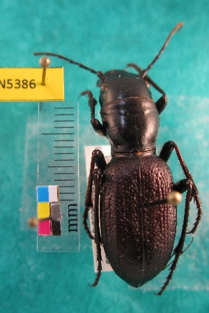 (Amblycheila - NEONTcarabid5386)  @15 [ ] Copyright (2012) Barton, M National Ecological Observatory Network (NEON) http://www.neoninc.org/content/copyright