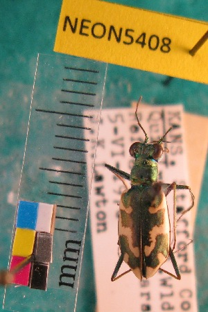 (Ellipsoptera - NEONTcarabid5408)  @15 [ ] Copyright (2012) Barton, M National Ecological Observatory Network (NEON) http://www.neoninc.org/content/copyright