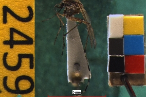 (Aedes nigromaculis - NEONTculicid2459)  @13 [ ] Copyright (2010) Baldwin, TA National Ecological Observatory Network (NEON) http://www.neoninc.org/content/copyright