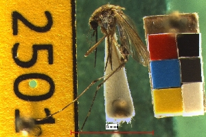 (Aedes melanimon - NEONTculicid2501)  @13 [ ] Copyright (2010) Baldwin, TA National Ecological Observatory Network (NEON) http://www.neoninc.org/content/copyright