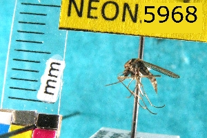 (Aedes punctor - NEONTculicid5968)  @14 [ ] Copyright (2010) Barton, M National Ecological Observatory Network (NEON) http://www.neoninc.org/content/copyright