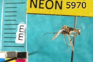 (Aedes intrudens - NEONTculicid5970)  @13 [ ] Copyright (2010) Barton, M National Ecological Observatory Network (NEON) http://www.neoninc.org/content/copyright