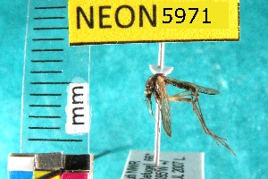 (Aedes decticus - NEONTculicid5971)  @12 [ ] Copyright (2010) Barton, M National Ecological Observatory Network (NEON) http://www.neoninc.org/content/copyright