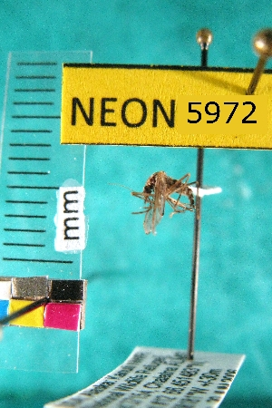 (Aedes sticticus - NEONTculicid5972)  @13 [ ] Copyright (2010) Barton, M National Ecological Observatory Network (NEON) http://www.neoninc.org/content/copyright