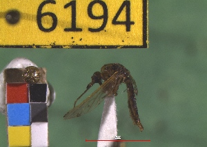 (Aedes fulvus pallens - NEONTculicid6194)  @13 [ ] Copyright (2012) Baldwin, TA National Ecological Observatory Network (NEON) http://www.neoninc.org/content/copyright
