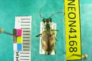 (Habroscelimorpha - NEONTcarabid4168)  @14 [ ] Copyright (2011) Blevins, KK and Travers, PD National Ecological Observatory Network (NEON) http://www.neoninc.org/content/copyright