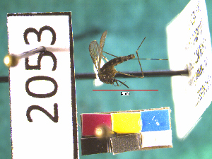 (Aedes japonicus - NEONTculicid2053)  @13 [ ] Copyright (2010) Blevins, KK and Travers, PD National Ecological Observatory Network (NEON) http://www.neoninc.org/content/copyright