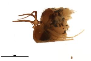 (Simulium spinibranchium - SIM-CANADA-60)  @12 [ ] CreativeCommons - Attribution Non-Commercial Share-Alike (2009) Unspecified Biodiversity Institute of Ontario