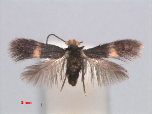 (Casanovula - RMNH.INS.24079)  @13 [ ] by-nc-sa - Creative Commons - Attribution Non-Comm Share-Alike (2013) Erik J. van Nieukerken Naturalis, Biodiversity Center