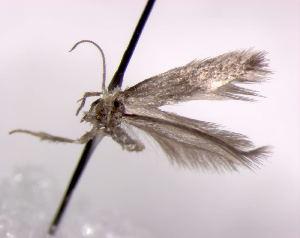(Fomoria - RMNH.INS.23722)  @12 [ ] by-nc-sa - Creative Commons - Attribution Non-Comm Share-Alike (2013) Erik J. van Nieukerken Naturalis, Biodiversity Center