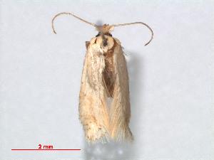 (Muhabbetana - RMNH.INS.24253)  @13 [ ] by-nc-sa - Creative Commons - Attribution Non-Comm Share-Alike (2013) Erik J. van Nieukerken Naturalis, Biodiversity Center