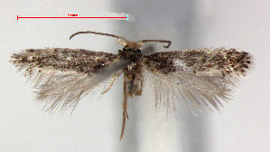 (Glaucolepis - RMNH.INS.24000)  @13 [ ] by-nc-sa - Creative Commons - Attribution Non-Comm Share-Alike  Erik J. van Nieukerken-Nauturalis Unspecified
