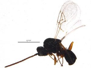 (Figitidae - BIOUG10472-D02)  @14 [ ] CreativeCommons - Attribution Non-Commercial Share-Alike (2014) BIO Photography Group Biodiversity Institute of Ontario