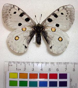 (Parnassius apollo democratus - EC-025)  @14 [ ] Unspecified (default): All Rights Reserved  Unspecified Unspecified