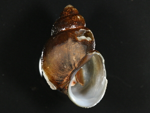 (Viviparidae - BIOUG13626-G11)  @14 [ ] CreativeCommons - Attribution Non-Commercial Share-Alike (2014) BIO Photography Group Biodiversity Institute of Ontario