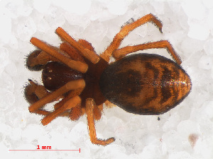 (Dictyna uncinata - RMNH.ARA.12473)  @13 [ ] CreativeCommons - Attribution Non-Commercial Share-Alike (2012) Unspecified Naturalis, Biodiversity Centre