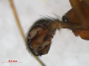 (Neriene furtiva - RMNH.ARA.12508)  @12 [ ] CreativeCommons - Attribution Non-Commercial Share-Alike (2012) Unspecified Naturalis, Biodiversity Centre