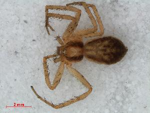 (Philodromus dispar - RMNH.ARA.12526)  @13 [ ] CreativeCommons - Attribution Non-Commercial Share-Alike (2012) Unspecified Naturalis, Biodiversity Centre