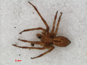 (Philodromus praedatus - RMNH.ARA.12527)  @13 [ ] CreativeCommons - Attribution Non-Commercial Share-Alike (2012) Unspecified Naturalis, Biodiversity Centre