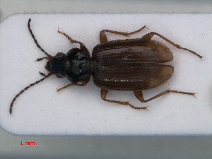 (Bembidion iricolor - RMNH.INS.535679)  @13 [ ] CreativeCommons - Attribution Non-Commercial Share-Alike (2012) Unspecified Naturalis, Biodiversity Centre