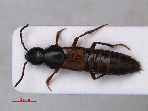 (Staphylinidae - RMNH.INS.535754)  @17 [ ] CreativeCommons - Attribution Non-Commercial Share-Alike (2012) Unspecified Naturalis, Biodiversity Centre