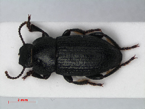(Tenebrionidae - RMNH.INS.536379)  @17 [ ] CreativeCommons - Attribution Non-Commercial Share-Alike (2012) Unspecified Naturalis, Biodiversity Centre