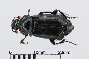 (Nicrophorus humator - RMNH.INS.536419)  @13 [ ] CreativeCommons - Attribution Non-Commercial Share-Alike (2012) Unspecified Naturalis, Biodiversity Centre
