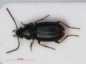 (Bembidion mannerheimii - RMNH.INS.536445)  @15 [ ] CreativeCommons - Attribution Non-Commercial Share-Alike (2012) Unspecified Naturalis, Biodiversity Centre