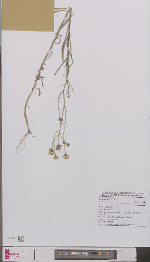 (Senecio inaequidens - L 0894102)  @11 [ ] CreativeCommons - Attribution Non-Commercial Share-Alike (2012) Naturalis Biodiversity center Naturalis Biodiversity center