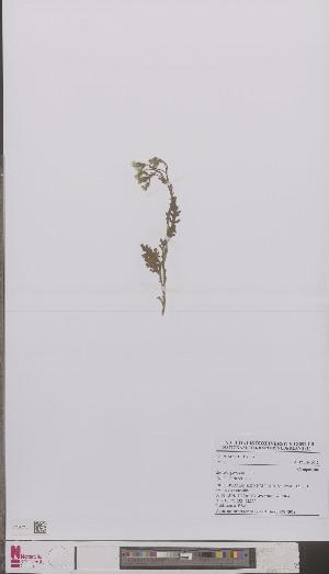 (Senecio - L 0894293)  @11 [ ] CreativeCommons - Attribution Non-Commercial Share-Alike (2012) Naturalis Biodiversity center Naturalis Biodiversity center