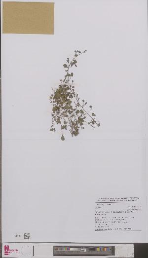 (Cymbalaria - L 0893996)  @11 [ ] CreativeCommons - Attribution Non-Commercial Share-Alike (2012) Naturalis Biodiversity center Naturalis Biodiversity center