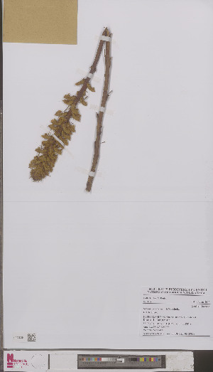 (Orobanche picridis - L 0893999)  @11 [ ] CreativeCommons - Attribution Non-Commercial Share-Alike (2012) Naturalis Biodiversity center Naturalis Biodiversity center