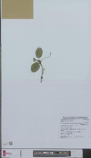(Potamogeton polygonifolius - L 0894179)  @11 [ ] CreativeCommons - Attribution Non-Commercial Share-Alike (2012) Naturalis Biodiversity center Naturalis Biodiversity center