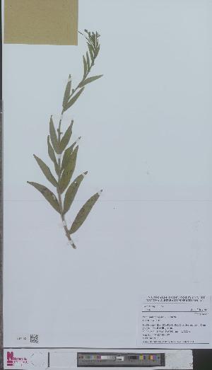 (Epilobium parviflorum - L 0894377)  @11 [ ] CreativeCommons - Attribution Non-Commercial Share-Alike (2012) Naturalis Biodiversity center Naturalis Biodiversity center