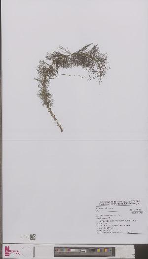 (Myriophyllum verticillatum - L 0894305)  @11 [ ] CreativeCommons - Attribution Non-Commercial Share-Alike (2012) Naturalis Biodiversity center Naturalis Biodiversity center