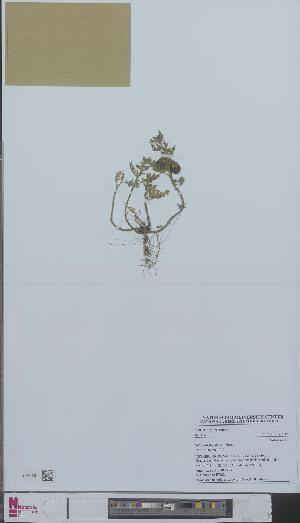 (Solanum triflorum - L 0894432)  @11 [ ] CreativeCommons - Attribution Non-Commercial Share-Alike (2012) Naturalis Biodiversity center Naturalis Biodiversity center