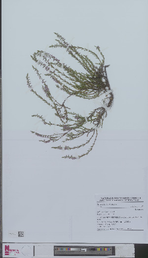 (Calluna vulgaris - L 0894611)  @11 [ ] CreativeCommons - Attribution Non-Commercial Share-Alike (2012) Naturalis Biodiversity center Naturalis Biodiversity center