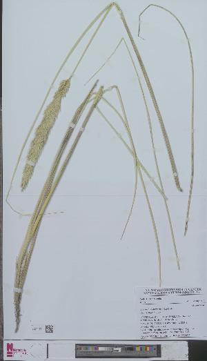 (Ammophila arenaria - L 0894554)  @11 [ ] CreativeCommons - Attribution Non-Commercial Share-Alike (2012) Naturalis Biodiversity center Naturalis Biodiversity center