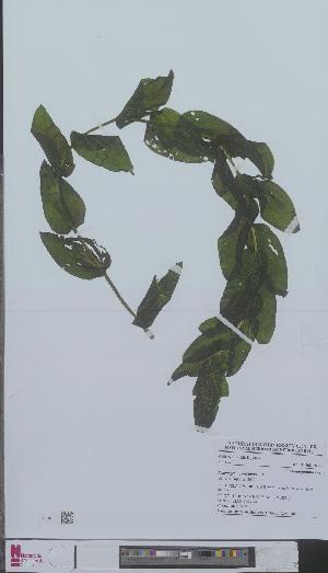 (Potamogeton - L 0894678)  @11 [ ] CreativeCommons - Attribution Non-Commercial Share-Alike (2012) Naturalis Biodiversity center Naturalis Biodiversity center