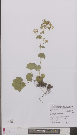 (Alchemilla - L 0894803)  @11 [ ] CreativeCommons - Attribution Non-Commercial Share-Alike (2012) Naturalis Biodiversity center Naturalis Biodiversity center