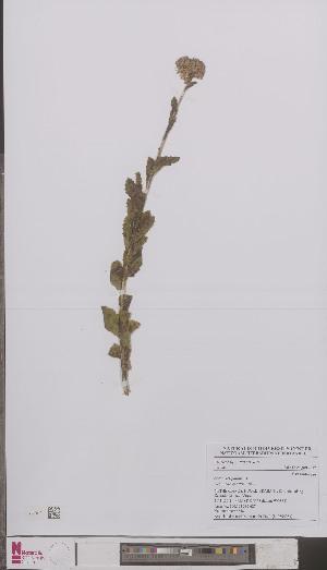 (Sedum telephium - L 0894954)  @11 [ ] CreativeCommons - Attribution Non-Commercial Share-Alike (2012) Naturalis Biodiversity center Naturalis Biodiversity center