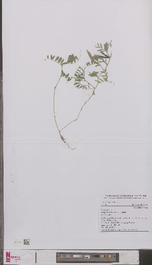 (Vicia sativa segetalis - L 0895112)  @11 [ ] CreativeCommons - Attribution Non-Commercial Share-Alike (2012) Naturalis Biodiversity center Naturalis Biodiversity center