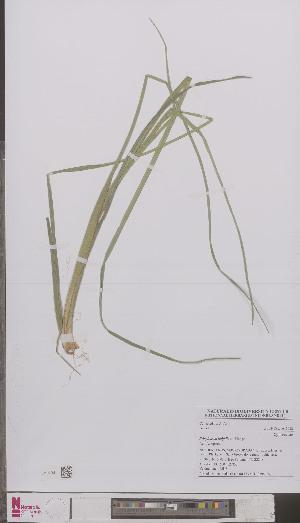 (Eriophorum latifolium - L 0895139)  @11 [ ] CreativeCommons - Attribution Non-Commercial Share-Alike (2012) Naturalis Biodiversity center Naturalis Biodiversity center